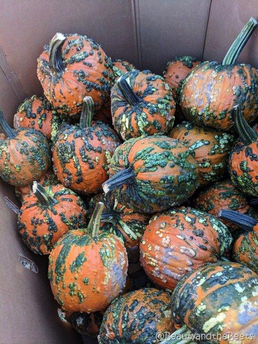 #FarmFoodTour Kansas Beauty and the Beets wart goblin pumpkins
