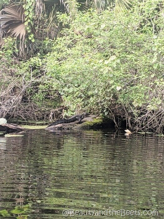 Alligator Wekiva River Beauty and the Beets