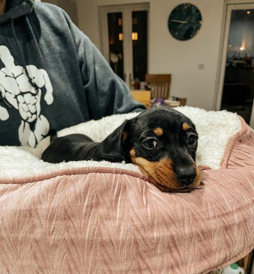 Luna the new puppy