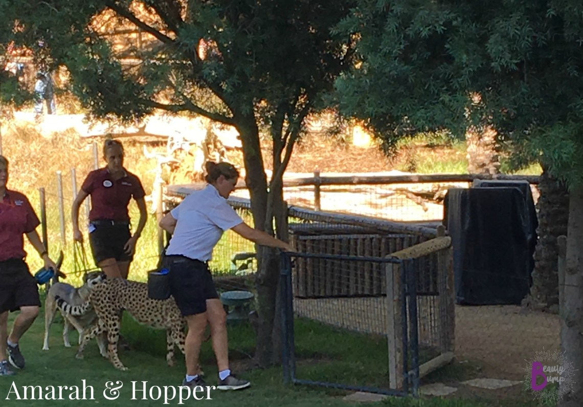 San Diego Zoo Safari Park Cheetah Run