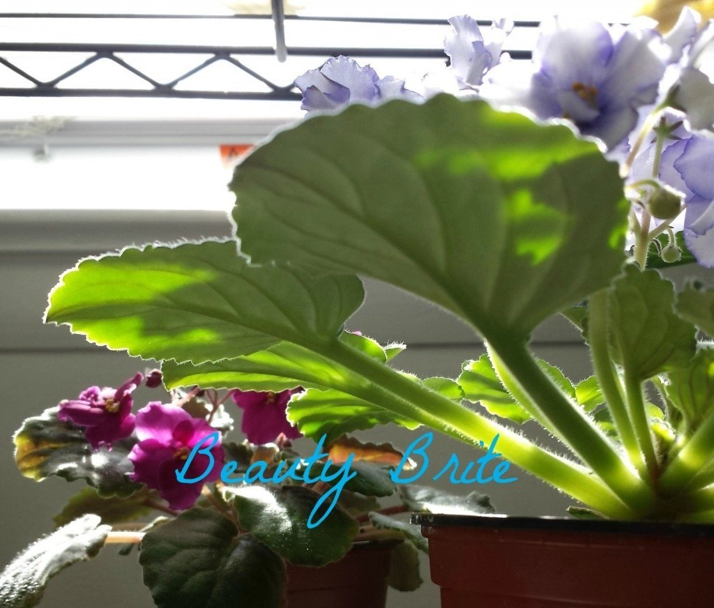 Love of African Violets