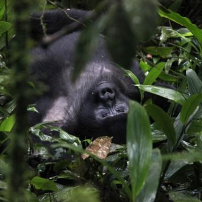 Unique Uganda III – Gorilla-Trekking… Once in a lifetime!