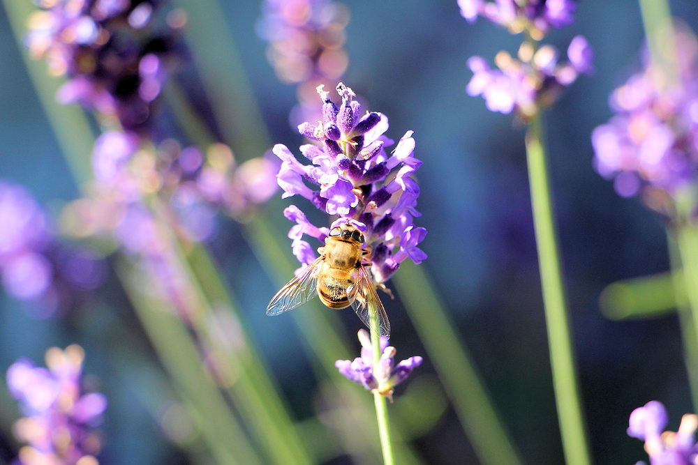 Lavender herbal bath