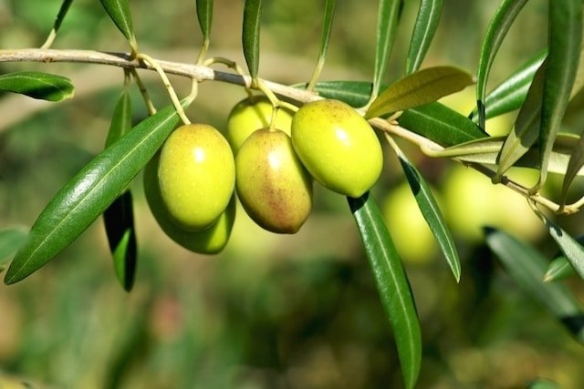 olive leaf, olive leaf extract,olive, figaro olive oil, what is keto diet, olive tree, olive bistro, olive oil benefits, olive oil uses, black olives