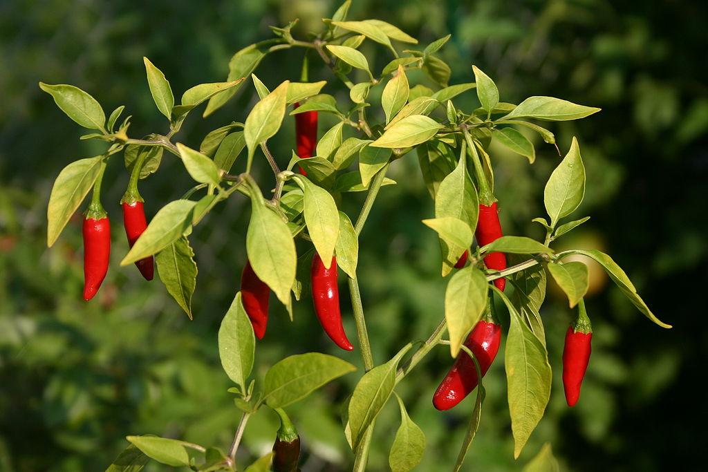 cayenne para la psoriasis como curar la psoriasis naturalmente con hierbas