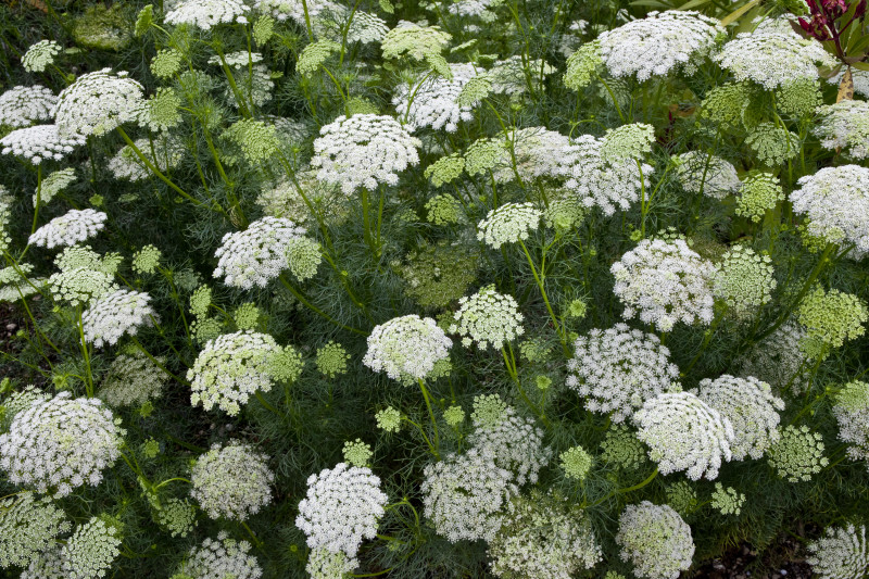 This is the plant carrot seed essential oil is got from. It has white lace-like flowers so it's called Queen Anne's Lace. When those flowers dry and shrivel up, the seeds that remain are steam distilled to get the essential oil!