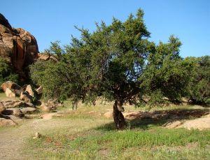784px-Argan_Tree_near_Tafraoute