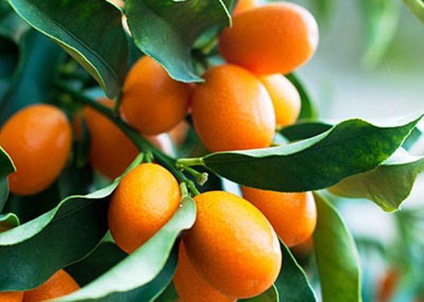 citrus-club-kumquat-0211-l