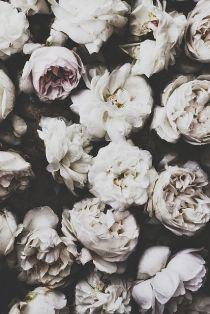 peonie-bianca
