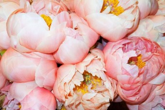 peonie-cover