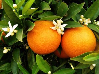 duas laranjas na laranjeira