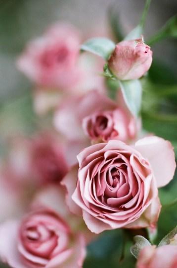 Rosa-Nobile-profumo-Acqua-di-Parma-rose