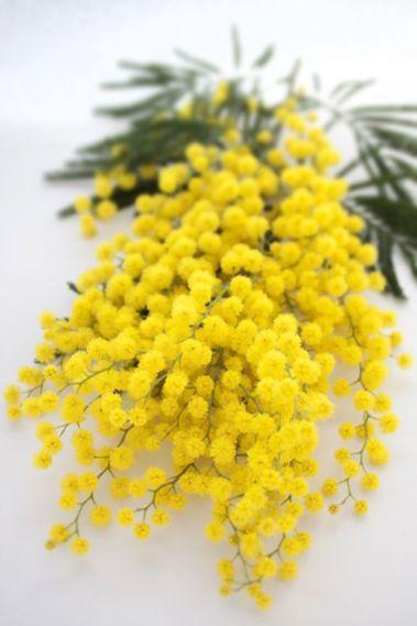 Profumo-Blanche-immortelle-Atelier-Cologne-mimosa
