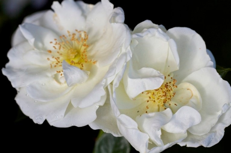 rose-Margaret-Merrill-3