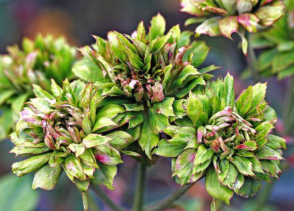 rose-Viridiflora-Chinensis-2
