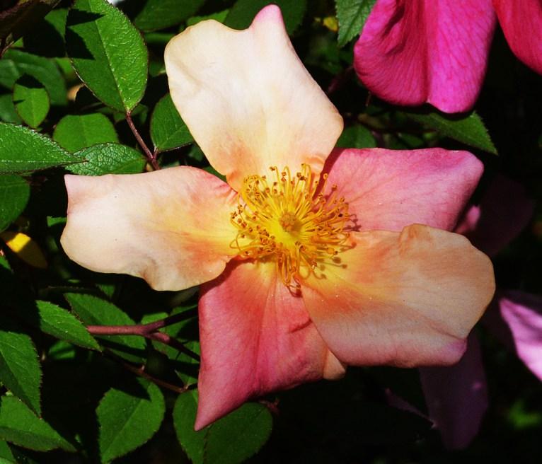 Rosa Mutabilis