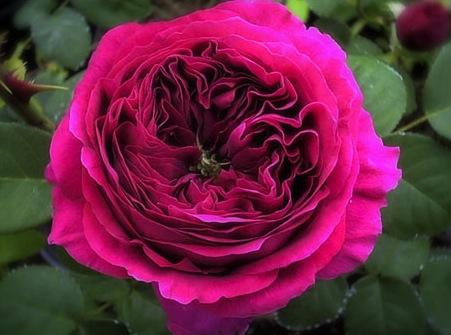 rose-othello1a