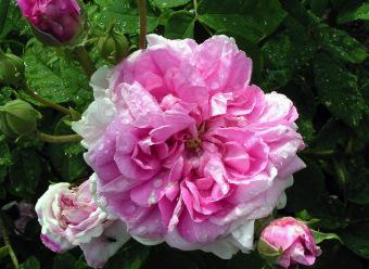 profumo-trama-simone-cosac-note-di-cuore-rosa-damascena