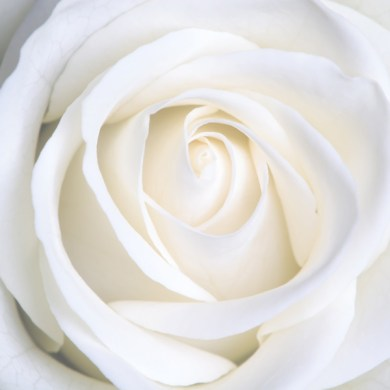 Aromatics-in-White-Rose