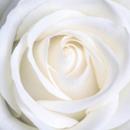 Aromatics-in-White-Rose