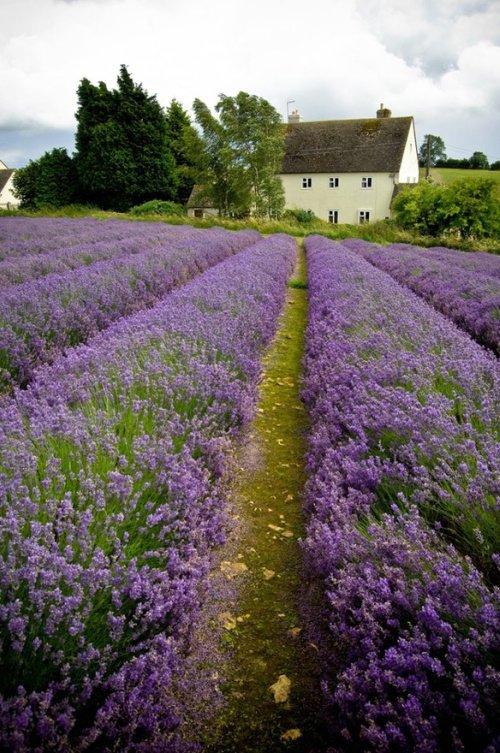 Mark-Buxton-Perfume-Questionnaire-odore-Lavanda-