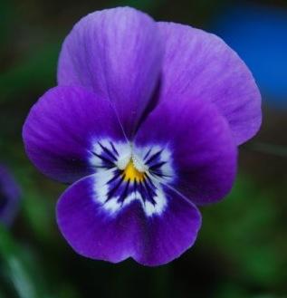 Francis-Kurkdjian-note-violetta