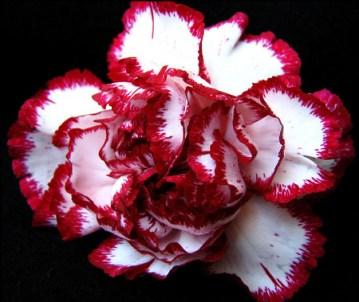 profumo-Rose-Privée-l-artisan-parfumeur-garofano