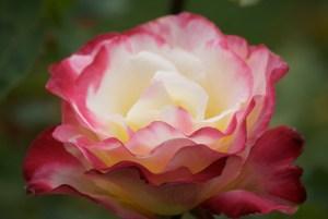 * DSC_0107 Red White Rose blossom
