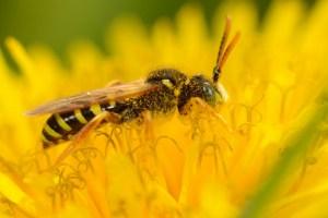 Connaitre et reconnaitre les abeilles sauvages @ Ecospace | Beauvais | Hauts-de-France | France