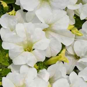 Panache Marshmallow Petunia