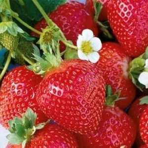 Quinault Strawberry
