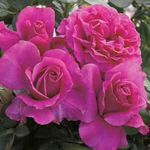 Pretty Lady Rose