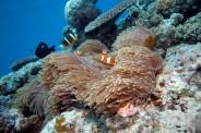 Clown Anenome Fish