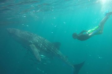 whale shark in Derawan Islands