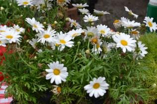 Shasta daisy for sale