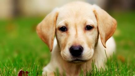 Dog Puppy