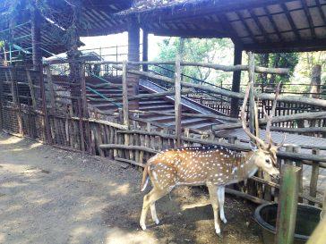 salah satu rusa penghuni Kebun Binatang Bandung
