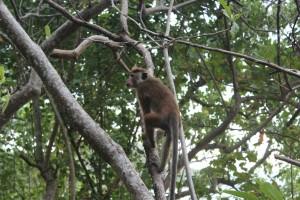 monkey @ Jungle Beach