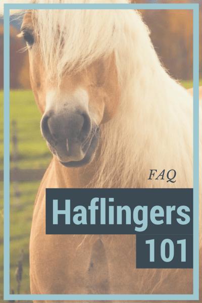 Haflingers 101: FAQ