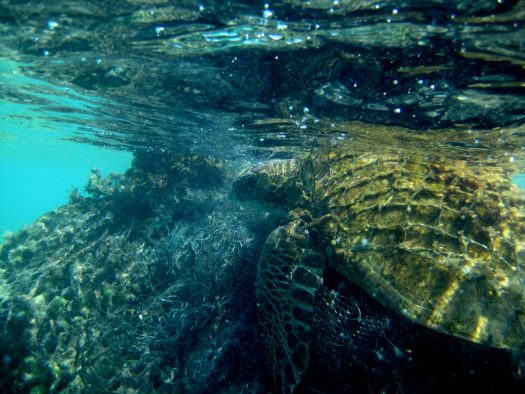 A green sea turtle entangled in derelict fishing gear at Pearl and Hermes Atoll.