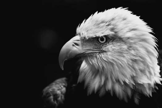 Black and white photo of a bald eagle.