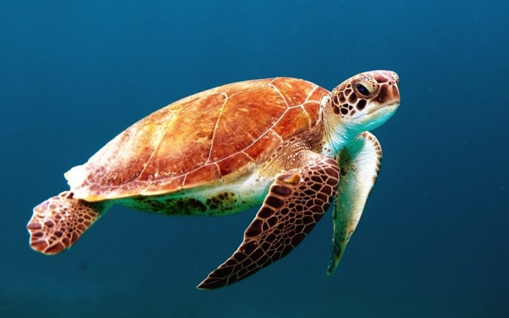 Image of a sea turtle. Photo by Wexor Tmg on Unsplash