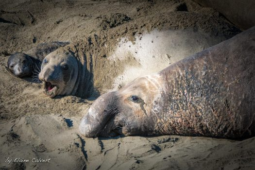 Image of northern elephant seals