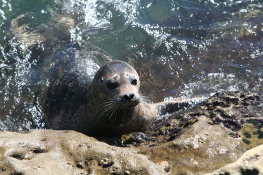 Image of a harbor seal in La Jolla, California
