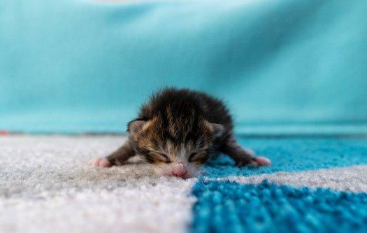 Kitten on blue and white carpet