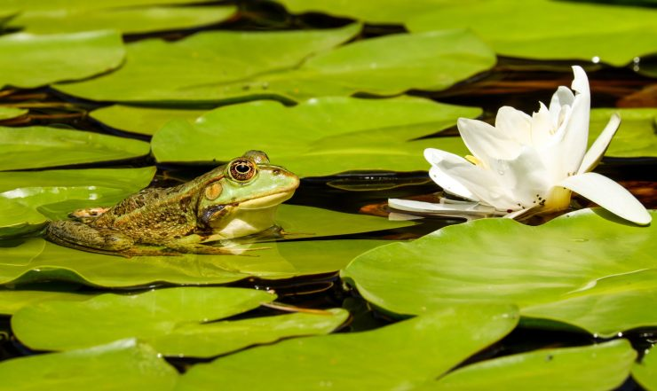 Frog surrounded by lily pads.