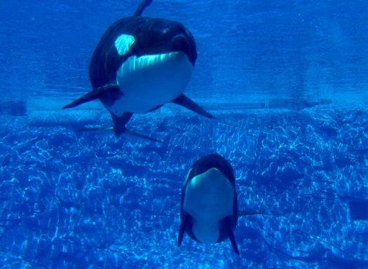 Orcas at SeaWorld Orlando