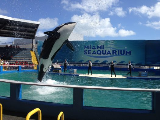 Orca at Miami Seaquarium
