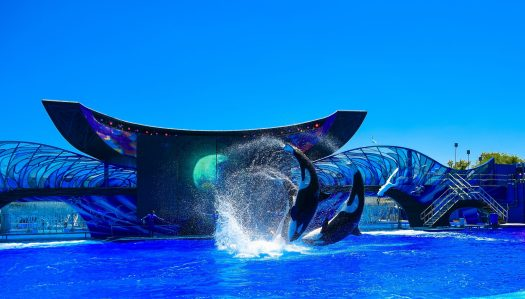 Orcas flipping through air at SeaWorld Orlando