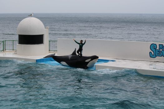 Trainer posing with an orca at Sea World Kamogawa